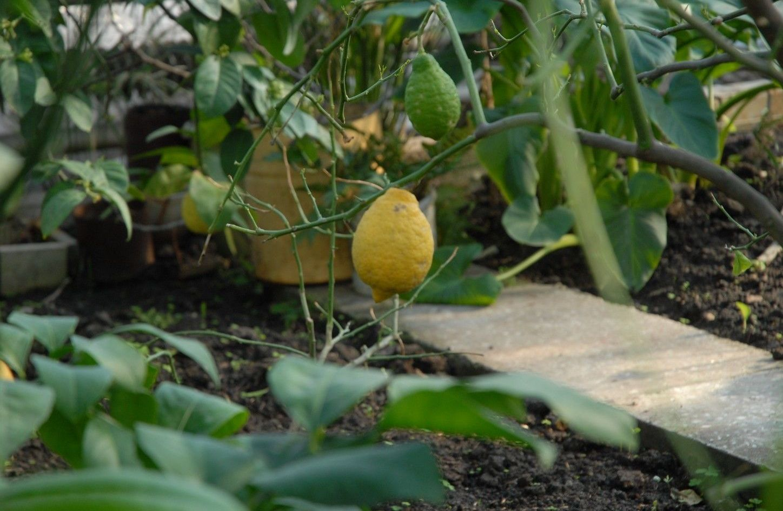 Лимонное дерево в ботаническом саду Петропавловска
