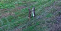 Драка оленей - видео