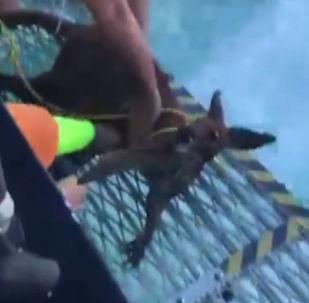 Рыбаки спасли тонущего в море кенгуру