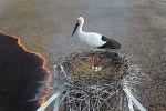 Аист не бросил гнездо во время сильного пожара