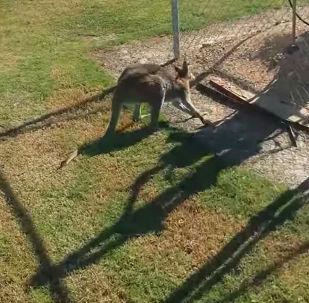 Неуклюжий кенгуру - видео