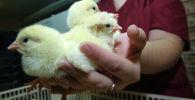 Цыплята в инкубаторе, архивное фото