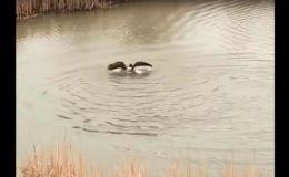 Гусыня утопила чайку, защищая птенца - видео