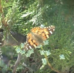 Нашествие бабочек испугало жителей Актау