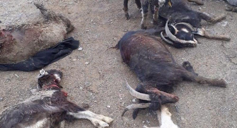 Градом убило коз в Мангистау