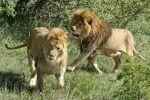 Львы в вольерах, архивное фото