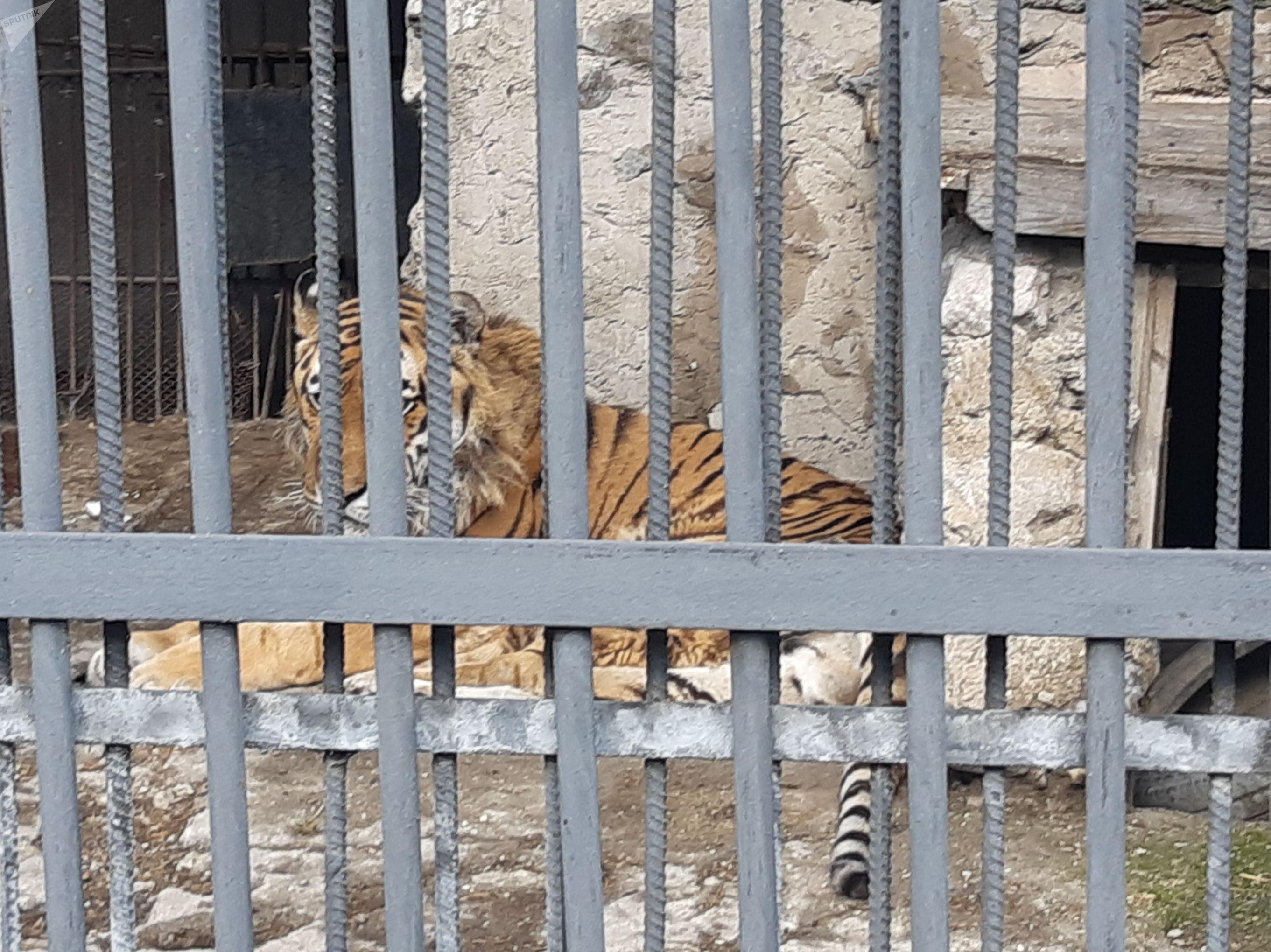 Тигр Немо