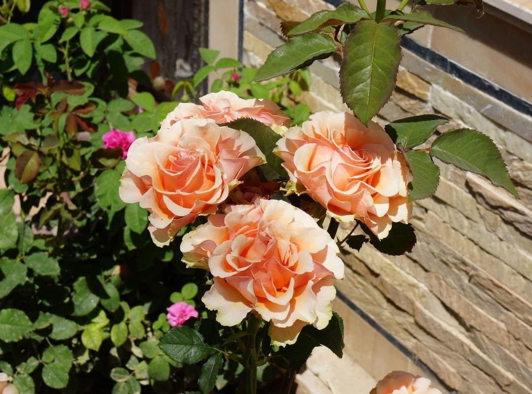 Розы в Ташкенте