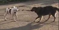 Собака отвязывет друга и уводит на прогулку - видео