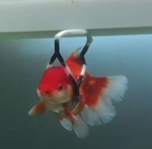 Аквариумной рыбке смастерили протез
