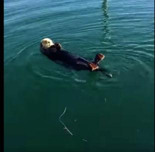 Выдра в реке - видео