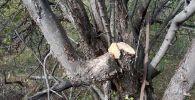 Вырубленные яблоневые деревья