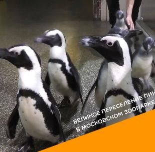 Великое переселение пингвинов в Московском зоопарке - видео