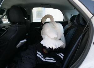 Птица повредила крыло и отбилась от стаи