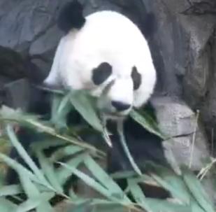 Гигантская панда Бей-Бей направляется в Китай для разведения