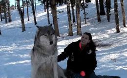 Девушка приручила волка - видео
