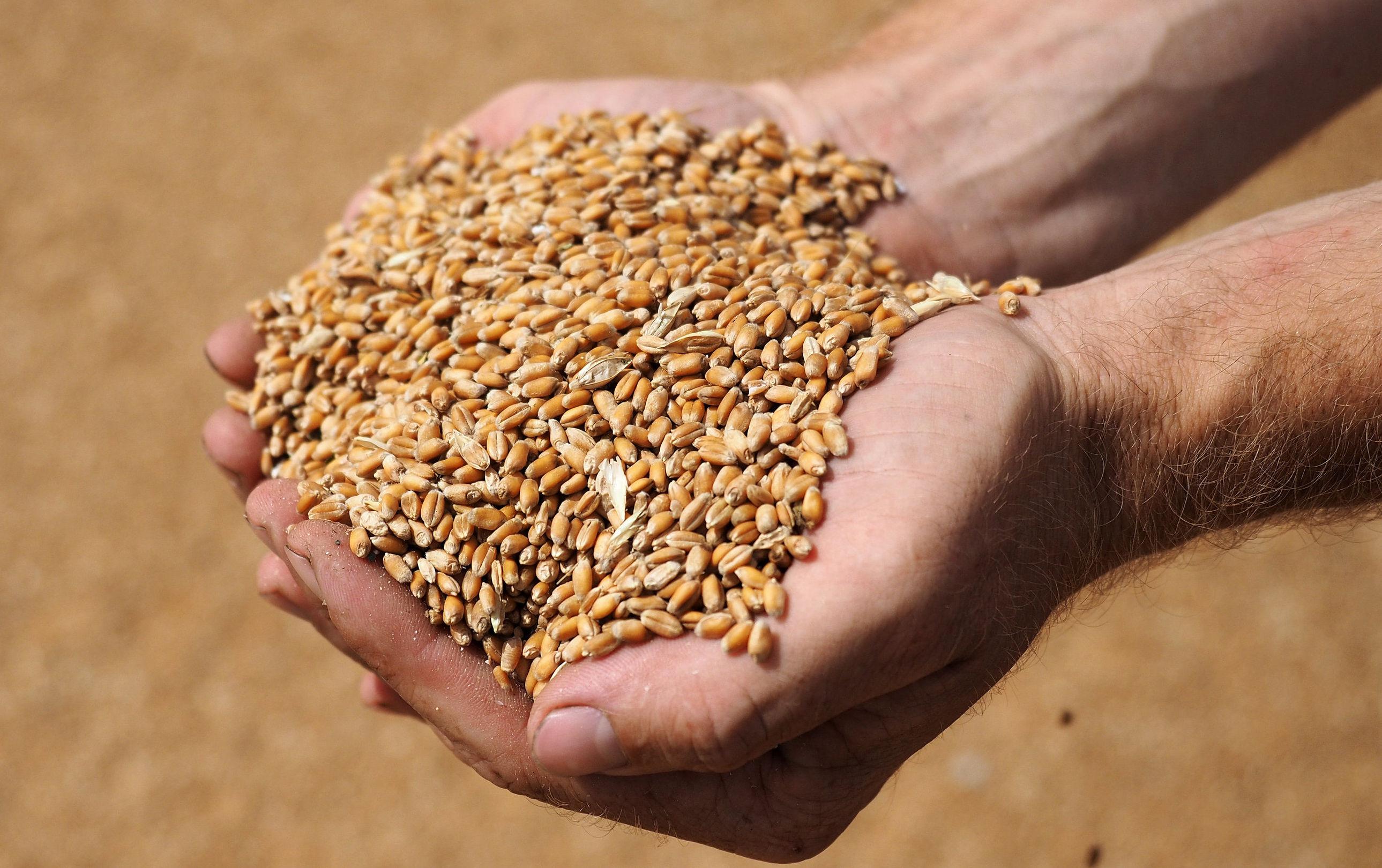 Архивное фото пшеницы