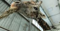 Кормление жирафа в Алматинском зоопарке