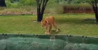 Львица и туристы - видео