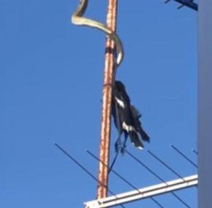 Питон устроил охоту за птицей на крыше жилого дома