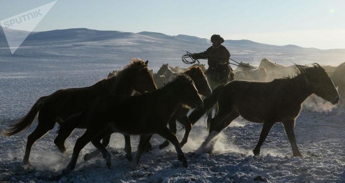 Мужчина пасет лошадей, архивное фото