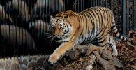 Амурская тигрица Тайга в Приморском сафари-парке