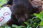 Двум малышам дикобраза плюшевый мишка заменил маму
