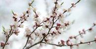 Цветение абрикоса, архивное фото