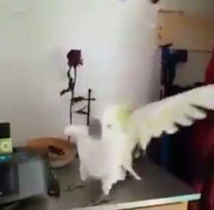 Танцующий попугай - видео