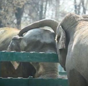 Влюбленные слоны в Алматинском зоопарке
