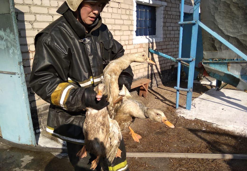 Спасение уток во время пожара на птицефабрике