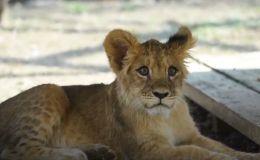 Львенка подлечили и выбирают ему имя в зоопарке Алматы