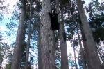 Кот загнал медведя на дерево - видео