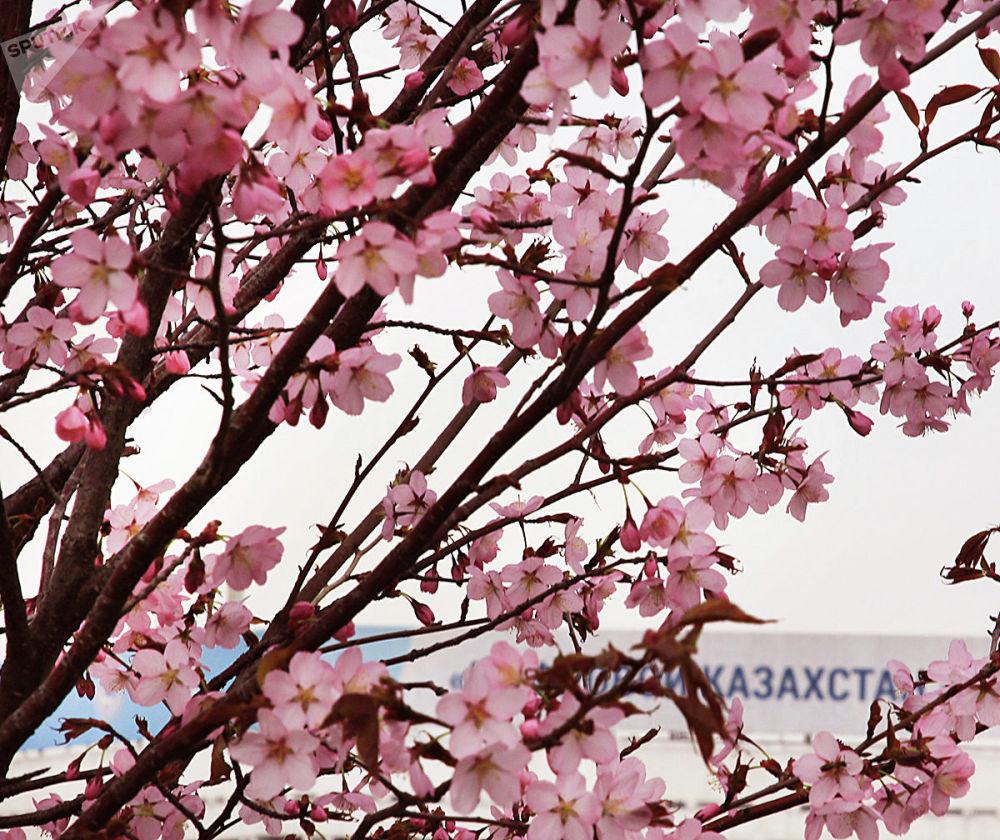 Сакура расцвела в Алматы