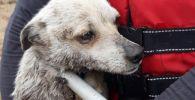 Спасатели эвакуировали собаку с островка в Усть-Каменогорске