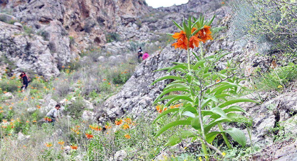 Уникальный цветок Айгуль (рябчик Эдуарда), архивное фото