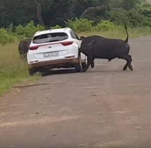 Буйвол сбил автомобиль с туристами