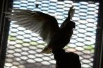 Голубь в голубятне, архивное фото