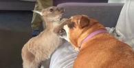 Драка кенгуру и собаки  - видео