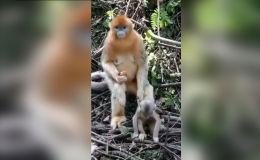 Обезьяна с детенышем - видео