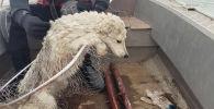 Спасателям удалось снять со льдины бездомную собаку в Кокшетау