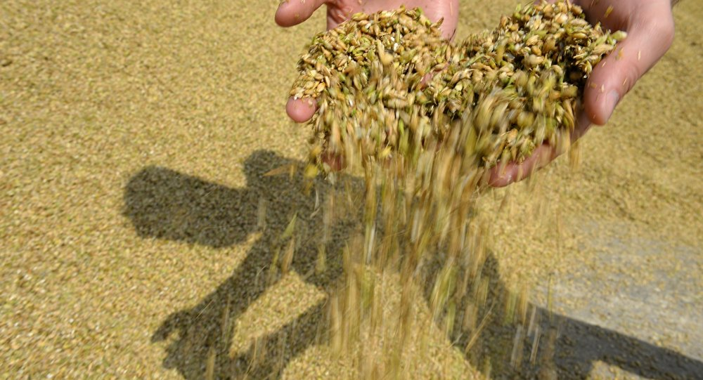 Сбор урожая. Архивное фото