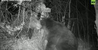 Приграничный конфликт: медведи подрались на российско-китайском рубеже - видео