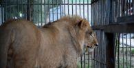 Львенка Симбу из Актау доставили в Алматинский зоопарк