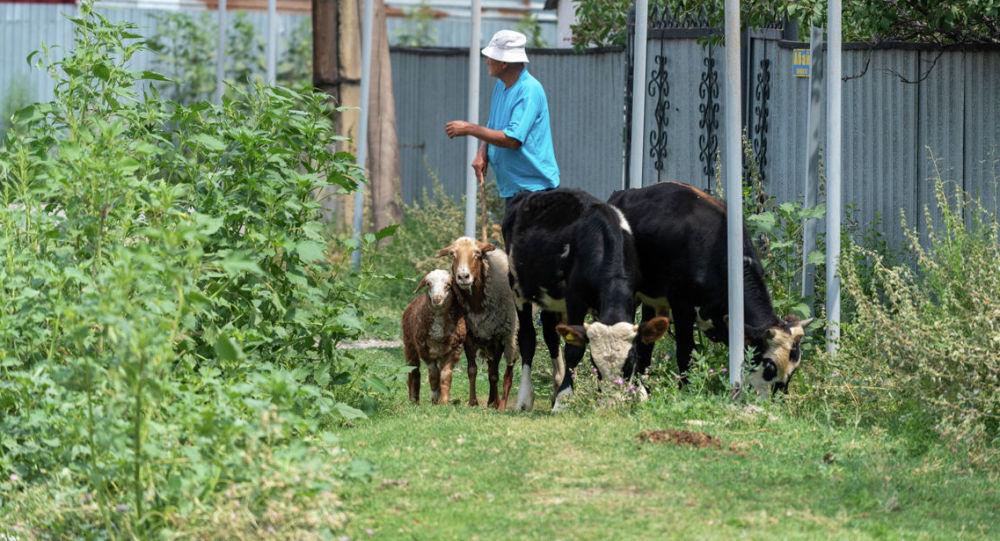 Житель поселка выгоняет скотину на пастбище