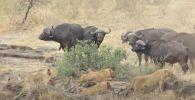 В последний момент: буйволы спасли бородавочника из пасти львиц - видео
