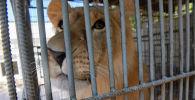 Львенок Симба из Актау все еще на карантине в алматинском зоопарке