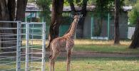 Длинношеий малыш родился у жирафов алматинского зоопарка Хана и Сулу