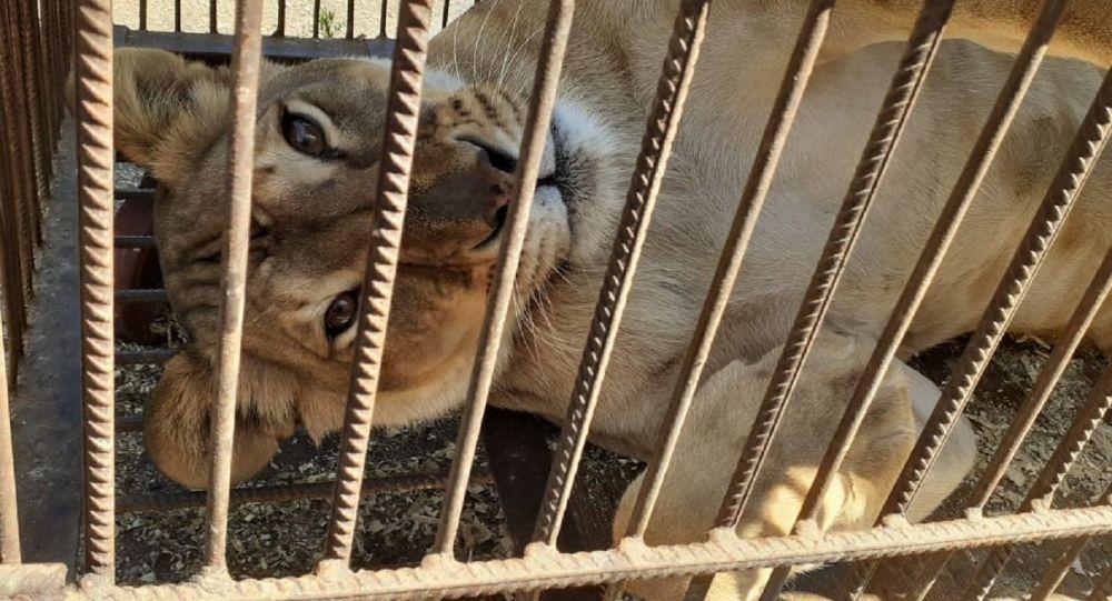 Львица в тесной клетке