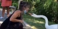 Строгий лебедь следит за безопасностью посетителей